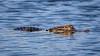 Floating Gator (tclaud2002) Tags: gator alligator reptile lizard wildlife animal water nature mothernature phippspark stuart florida usa