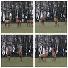 Exmoor - Boxing Deer (Robin M Morrison) Tags: reddeer stag boxing exmoor