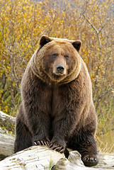 Beautiful Brown Bear Posing For Closeup Portrait (AlaskaFreezeFrame) Tags: grizzly brownbear grizzlybear bears bruin alaska alaskafreezeframe outdoors wildlife nature dangerous ursusarctoshorriblis mammal carnivore omnivore meadow grass fall claws canon telephoto powerful beautiful magnificent logs closeup portrait willows alders