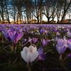 AF 2018-365-106 (Alister Firth Photography) Tags: ayrshire ayr corsehill parks gardens crocus springtime colour flowers