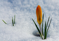 crocus in snow (marinachi) Tags: crocus macro snow yellow blue flower