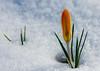crocus in snow (marinachi) Tags: crocus macro snow yellow blue flower