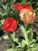 April Sunshine in the Garden (darrenboyj) Tags: warmth sunshine summer afternoon colour pink red color garden flowerbed flower tulip