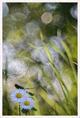 Diaplan 6 (Outlaw Pete 65) Tags: macro closeup fiori flower erba grass bole bubbles natura nature colori colours nikond600 meyeroptikdiaplan80mm collebeato lombardia italia