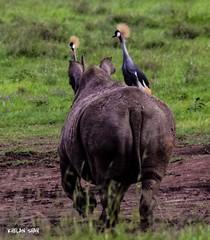 Stay away (khelan919) Tags: nature wildlifephotography wildlife animals nairobinationalpark cranedcrownbirds rhino