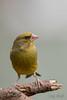 Greenfinch (Daryn Mockett) Tags: gorgeous stunning