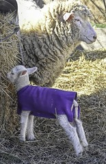 Curious Ram Lamb (Jo Zimny Photos) Tags: sheep baby lamb ramlamb cute white coat purple straw curious momma curly woolly ewe