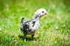 Baby Chickens-25 (sammycj2a) Tags: chick chickens backyardfarm farm chicks pullets straightrun backyard nikon nikkor lightroom