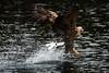 (Jon Erling Elvesveen) Tags: havørn whitetailed eagle haliaeetus albicilla flatanger norway nature birdphotography wildlife