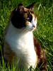 Chaton (Noemie.C Photo) Tags: chat cat chatte chaton kitty herbe grass campaign campagne rural animal cute mignon light lumiere regard look gata gato sun sunlight soleil lovely
