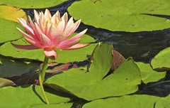peace... (mar-itz) Tags: waterlily balboapark sandiego california aquatic plant floating nature peace purity exotic religion