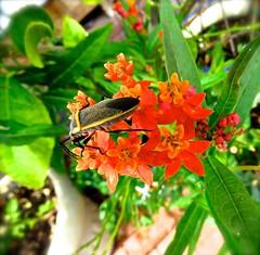 Insect On Milkweed Flowers <<>> IMG_0608 - Version 2 (Chic Bee) Tags: botany anatomy flower structure detailed milkweed insect beetle macro tucson arizona usa america americansouthwest southwesternusa