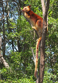Tree climbing Kangaroo.