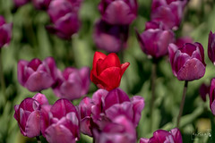 Tulips of the Valley (Michael Schmidt Photography Vancouver) Tags: 000 000tulips 7 7milliontulips chilliwackbc michaelschmidtphotographyvancouverbc tulipfestival tulipsofthevalley agriculture artwork black botanical brown beige dmschmidtshawca farm fields flowers green grey orange photography pink plants purple red white wwwmichaelschmidtphotographycom wwwthisiswhatiseeca yellow camera:make=sony geo:lon=12208090425 geocountry exif:make=sony geostate exif:model=ilce7rm3 geocity exif:aperture=ƒ18 exif:isospeed=50 exif:focallength=135mm geolocation geo:lat=49126367694445 exif:lens=135mmf18za camera:model=ilce7rm3