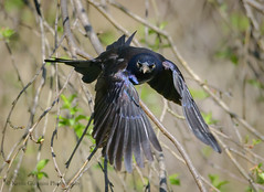Angry Bird (Kevin James54) Tags: commongrackle grackle lakegalena nikond850 peacevalleypark quiscalusquiscula tamron150600mm animals avian bird kevingianniniphotocom