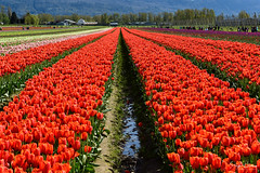 Tulips of the Valley Festival (SonjaPetersonPh♡tography) Tags: tulips tulip tulipfestival tulipsofthevalleyfestival tulipsofthevalley chilliwack bc britishcolumbia scenic scenery landscape mountainlandscape flowers redtulips tulipfields