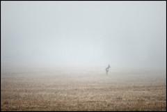 The Fog (Jonas Thomén) Tags: fog dimma field åker rådjur roedeer grass gräs roe animal djur landscape landskap