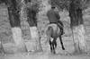 Delicate Manoeuvre (peterkelly) Tags: digital canon 6d bw asia kyrgyzstan gadventures centralasiaadventurealmatytotashkent horse rider trees tree riding man