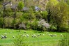Ustou (Ariège) (PierreG_09) Tags: ariège pyrénées pirineos couserans alet brebis troupeau mouton