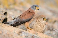La tuile (DorianHunt) Tags: birds bokeh birdsofprey lesserkestrel spain april 2018 nikond500 sigma 150600mm wwwhidesdecaleracom