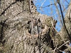 Eastern Screech Owl (old photo) (FluvannaBirder754) Tags: owl easternscreechowl tree wildwoodpark bridgewater virginia birdwatching bird birder birding birds nature outdoor outdoors wildlife animal tufts