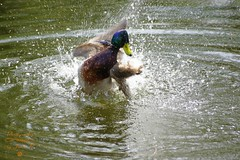 Nervous ???  :-) (Jurek.P) Tags: birds bird mallardduck kaczkakrzyżówka water park kępapotocka warsaw warszawa poland polska jurekp sonya77
