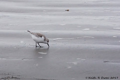 Sanderling (Calidris alba) (youngwarrior) Tags: oregon sanderling calidrisalba sandpiper beach bird fortstevens fortstevensstatepark
