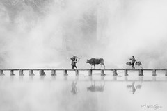 River Crossing In Black&White (Shi Yu) Tags: shiyuphotography yushiphotography sunstonephotography china places river crossing cow famers refections