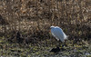 9Q6A8008 (2) (Alinbidford) Tags: alancurtis alinbidford brandonmarsh littleegret nature wildbirds wildlife