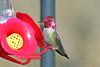 Anna's Hummingbird 18-0311-8240 (digitalmarbles) Tags: annashummingbird annas hummingbird male calypteanna apodiformes brilliant shiny pink hummingbirdfeeder macro nature wildlife animal bird birder birdphoto birdphotography wildlifephotography reifel sanctuary reifelsanctuary deltabc lowermainland bc britishcolumbia canada canoneosrebelt7i canon