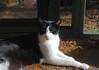 Idaho in sun (rootcrop54) Tags: male tuxedo cat catenclosure neko macska kedi 猫 kočka kissa γάτα köttur kucing gatto 고양이 kaķis katė katt katze katzen kot кошка mačka gatos maček kitteh chat ネコ idaho oddeyed oddeyes heterochromia cc100 cc300