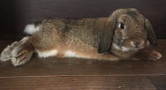 Jojo Bunny lounging around (markdavidsmom) Tags: house sweet resting brown love rabbit hollandlop lop holland bunny pet