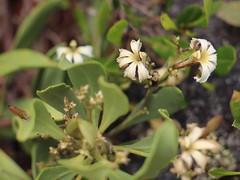 Scaevola kilaueae leaves and flowers (J. B. Friday) Tags: scaevola scaevolakilaueae hawaiivolcanoesnationalpark hvnp hawaiiannativeplants goodeniaceae