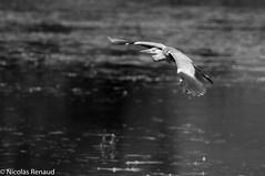 2012-06_creux de terre_76.jpg (Toto le torcol) Tags: oiseau héron animaux printemps nb genre oiseaudeau tempsclimat animal