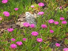 Flores de primavera (Los colores del Barbanza) Tags: flores paseo coroso riveira coruña galicia españa flower