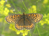 Melitaea athalia - Heath fritillary - Шашечница аталия (Cossus) Tags: mellicta nymphalidae nymphalinae шашечница анциферово 2007 melitaea fritillary