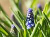 Happy Easter (herman hengelo) Tags: blauwedruifjes muscariaucheri garden tuin easter hengelo thenetherlands grapehyacinth