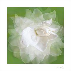 Under The Rain (Meu :-)) Tags: gardenia flower soft dreamy pastel raindrops