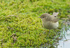 First Spring Chiffchaff (ian._harris) Tags: nikon sigma d7200 naturaleza nature 500mmf45 rspb thelodge sandy april flickr