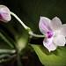 [North of Java, Indonesia] Phalaenopsis javanica J.J.Sm., Bull. Jard. Bot. Buitenzorg, sér. 2, 26: 77 (1918)