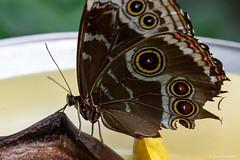 Common Morpho (dpsager) Tags: butterfly chicago commonmorpho dpsagerphotography illinois judyistockbutterflyhaven morphopeleides peggynotebaertnaturemuseum