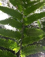 artful spores (patricia5275) Tags: fern plant green spores macro greenhouse