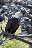 Big Bird (Cal Holman) Tags: lewisandclark snakeriver baldeagle eagle birds portland orjosephoregonunitedstatesus