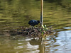 building a nest (paul hitchmough photography 2) Tags: nest bird wildlife southport water lake paulhitchmoughphotography nikonphotograhy nikond4s nikon70200