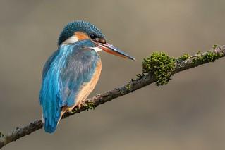 Eisvogel / Kingfisher ( Explored 5.4.18 #28 )