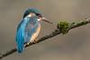 Eisvogel / Kingfisher ( Explored 5.4.18 #28 ) (@Thomas Neuber) Tags: alcedoatthis kingfisher colorful highres eisvogel female feather natur wild