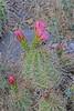 CAE011282a (jerryoldenettel) Tags: 180306 2018 cactaceae caryophyllales coreeudicots echinocereus echinocereuscoccineus nm oliverleestatepark oteroco wildflower caactus flower hedgehog hedgehogcactus