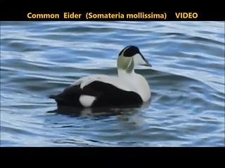 Common Eider (Somateria mollissima) 22-03-2018 . . . VIDEO