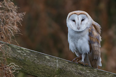 Barn owl (marty crossman) Tags: barn owl