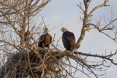 Bald Eagles at their nest
